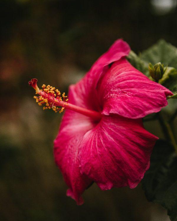 ハワイのハイビスカス